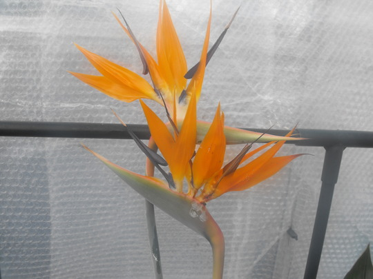 Bird of Paradise...last of the blooms......