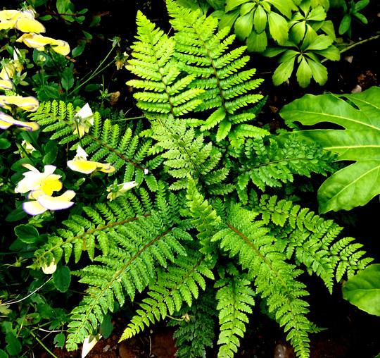 Fern Dryopteris atrata (Fern Dryopteris atrata)