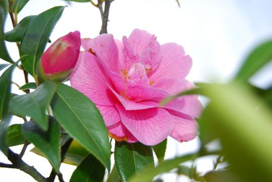 Soppy Camellia
