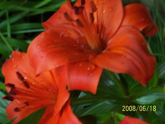 Lily 'Marrakech' 4 (Lilium asiaticum 'Marrakech')