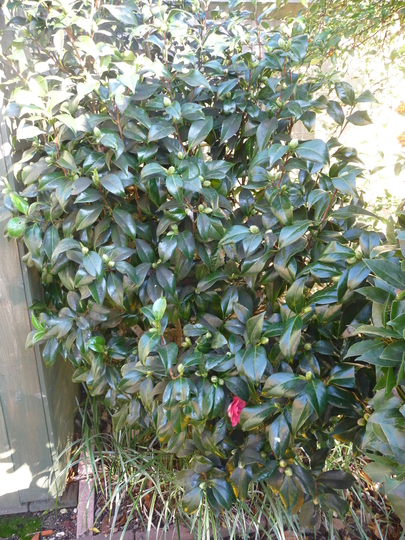 Camellia.... (Camellia japonica (Camellia))