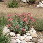 Euphorbia (Euphorbia rigida)