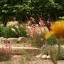 Flowering Gaura in the dry garden (Gaura lindheimeri)