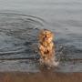 lucky enjoys a dip at roker beach