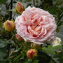 rose Abraham Darby (Rosa)