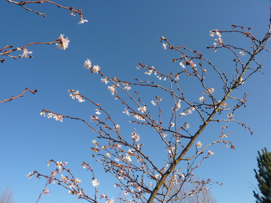 Prunus 'Autumnalis' (Autumn cherry tree)
