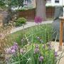 Allium in July