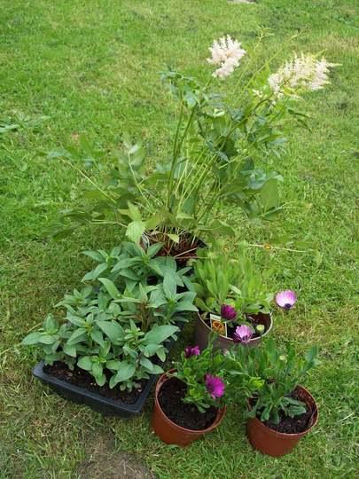 9Snap Dragoons,Gailardia,Pink Astilbe&2 Different Pink Osteospermums