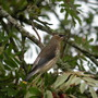 Cedar Waxwing in Mountain Ash