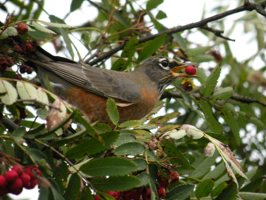 American Robin in Mountain Ash