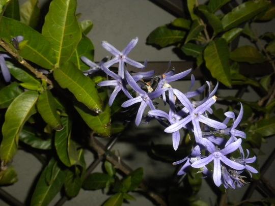 Petrea volubilis - Queen's Wreath Vine (Petrea volubilis - Queen's Wreath Vine)