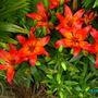Asiatic Lily..Vesuvius.