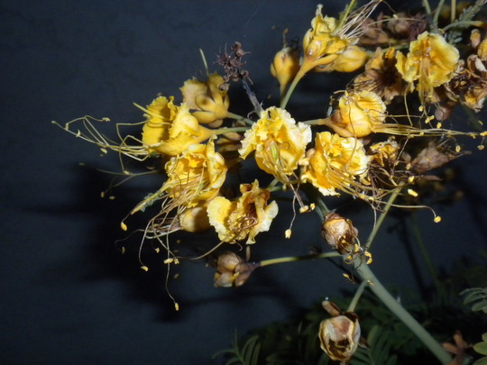 Caesalpinia species unknown  (Caesalpinia species)