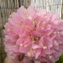 Dombeya wallichii - Pink Ball Tree, Tropical Pink Hydrangea (Dombeya wallichii - Pink Ball Tree, Tropical Pink Hydrangea)