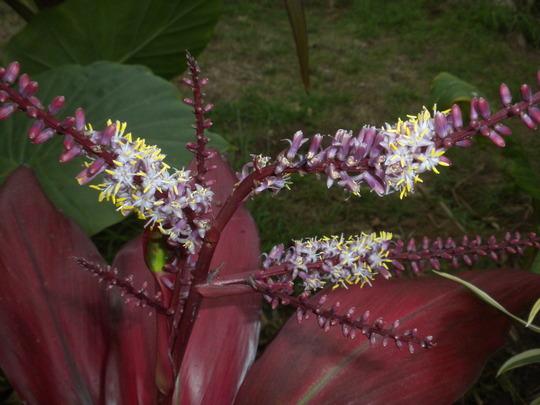 Cordyline fruiticosa (terminalis) -  Red Ti Leaf Plant (Cordyline fruiticosa (terminalis) -  Red Ti Leaf Plant)