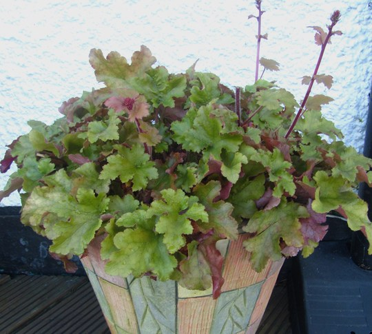Heuchera 'marmalade'...14th January '12