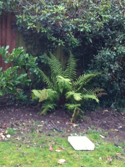 Fern in back garden