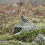 Saw this Fieldfare on the top of Dartmoor he seemed to be having a rest