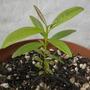 Pimenta dioica - Allspice Tree Seedling (Pimenta dioica - Allspice Tree Seedling)