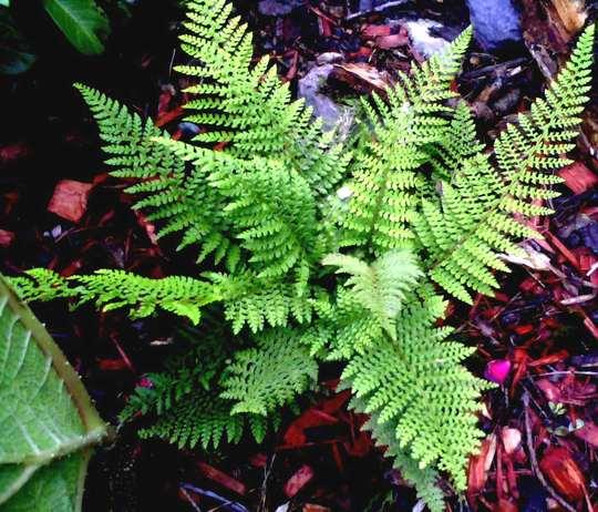 fern polystichum aculeatum (fern polystichum aculeatum)