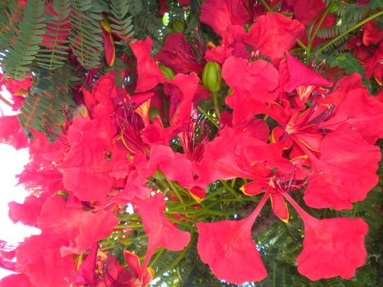 Delonix regia - Royal Poinciana, Flamboyant Flowers in San Diego, CA (Delonix regia - Royal Poinciana, Flamboyant)