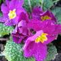 Primula ..Wanda .14/1/2012