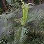 Dypsis lutescens - Butterfly Palm, Golden Cane Palm (Dypsis lutescens - Butterfly Palm, Golden Cane Palm)