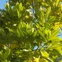 Pimenta dioica - Allspice Tree