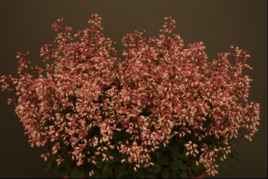 heuchera micans taken from the alpine society website (hope you dont mind)