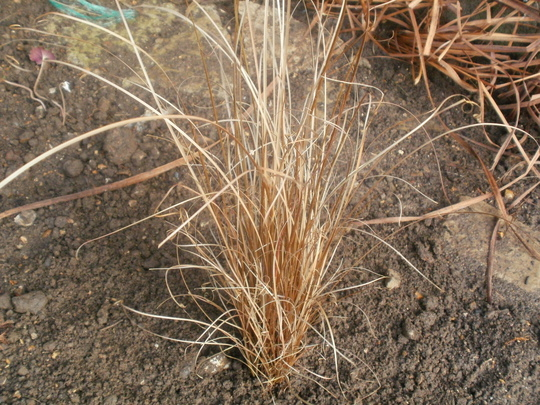 Red Rooster Grass (Carex buchananii 'Red Rooster')