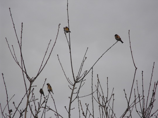 Goldfinch invasion......