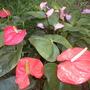 Anthurium andraeanum - Anthuriums