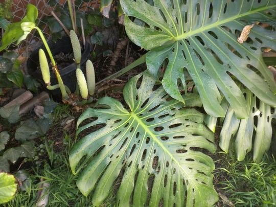 Monstera deliciosa - Split-leaf-Philodendron, Mexican Breadfruit (Monstera deliciosa - Split-leaf-Philodendron, Mexican Breadfruit)