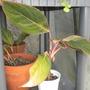 Aglaonema 'Red Sumatra' (Aglaonema 'Red Sumatra')