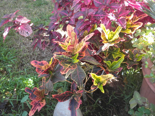 Codiaeum variegatum 'Angel Wing' - Angel Wing Croton and Iresine lindenii - Bloodleaf (Codiaeum variegatum 'Angel Wing' - Angel Wing Croton and Iresine lindenii - Bloodleaf)
