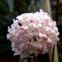 Viburnum flowers x bodnantense charles lamont  (viburnum)