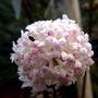 Viburnum flowers x bodnantense charles lamont  (viburnum)
