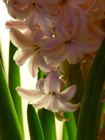 Shell pink Hyacinths (Hyacinthus orientalis (Hyacinth))