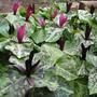 Trillium kurabayashii seedlings showing colour variation 2009 2