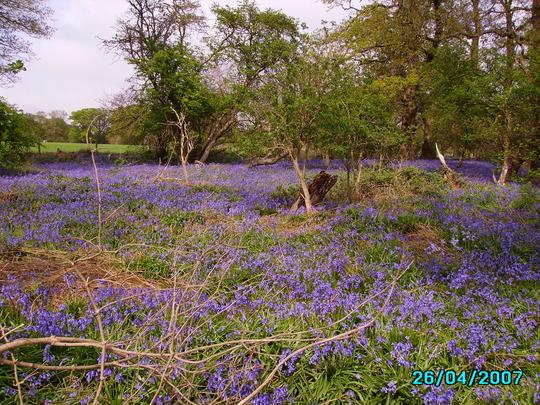 blue bells (hyacinthoides non-scripta)