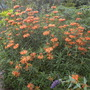 Leonotis leonurus - Lion&#x27;s Tail (Leonotis leonurus - Lion&#x27;s Tail)