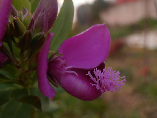 Polygala flower after the freeze