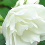 Close up Of Mock Orange  (Philadelphus coronarius)