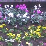 cyclamen and pansies church