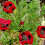 Papaver_lady_bird_poppy