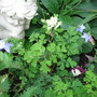 Corydalis and little blue flower( name unknown) (Corydalis ochroleuca)