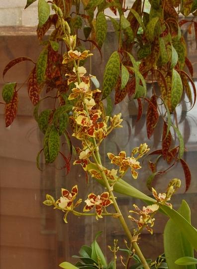 Vulystekeara orchid (Vulystekeara)