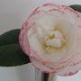 January_camellia