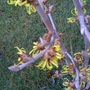 Witch_hazel_photo