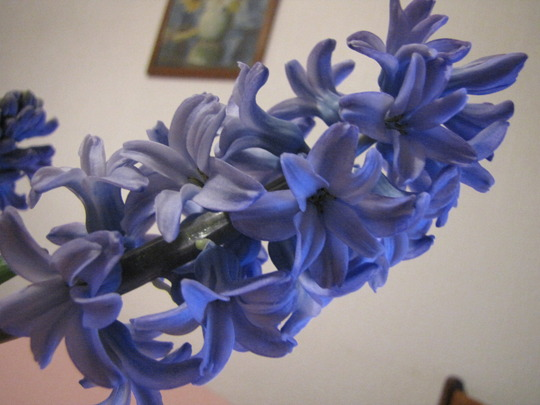 Closer photo of the hyacinth.